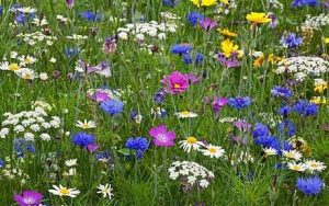 wildflower-meadow1